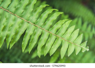 Green fern as a background, Close up of the leaves of a fern.