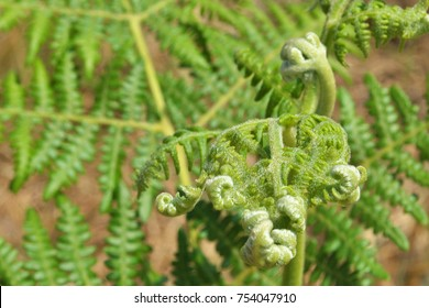 Green fern fronds in the process of unfolding and reaching out