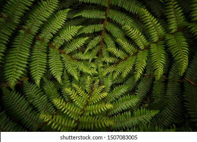 Green fern, national symbol of New Zealand, Aoteaora. Captured from top down. Very moody view, symbolic. Hidden deep in a forest.