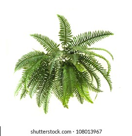 Green fern on white background