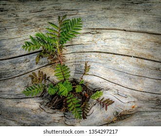 Green Fern Plant growing out of a Driftwood Log at the Beach in the Pacific Northwest