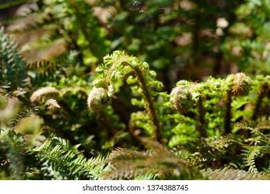 Green Fern Varen - Shutterstock ID 1374388745