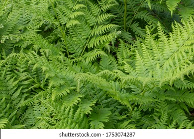 Green ferns.Ferns are a widely mentioned plant in folklore, which is often mentioned in connection with the summer solstice.