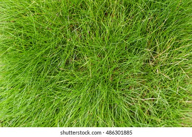 Green fescue leaves (Festuca gautieri) background, low-maintenance ground cover decorative grass. Top view.