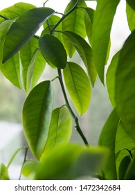 Green ficus leaves on a bush. Ficus benjamina, commonly known as weeping fig, benjamin fig or ficus tree grown at home.