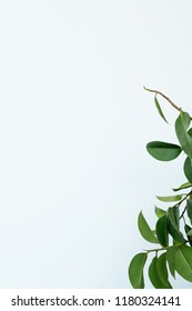green ficus leaves on white background. simple natural minimalist backdrop.