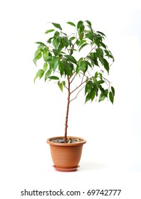 Green ficus tree in a brown pot. Isolated white