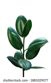 green ficus tree bush leaves natural