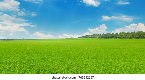 Green field and blue sky with light clouds. Agricultural landscape.Wide photo.
