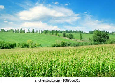 Green field with corn. Blue cloudy sky. Agricultural landscape.