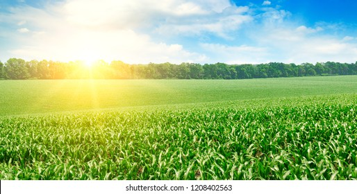 Green field with corn. Blue cloudy sky. Sunrise on the horizon. Wide photo.