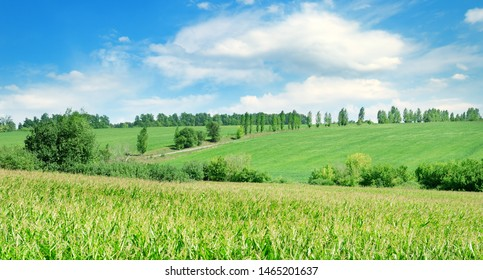 Green field with corn. Blue cloudy sky. Agricultural landscape.Wide photo.