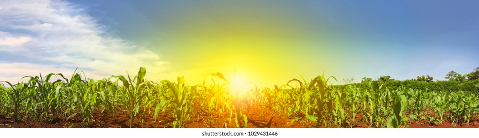 Green field with corn. Sunset on the horizon. Blue cloudy sky.