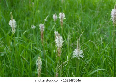 green field with flowering plantain