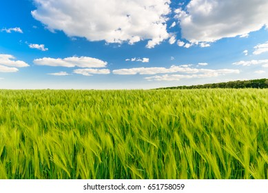 Green field full of wheat and blue sky