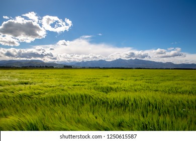 A green field of grain waves in the wind in a rural area in New Zealand