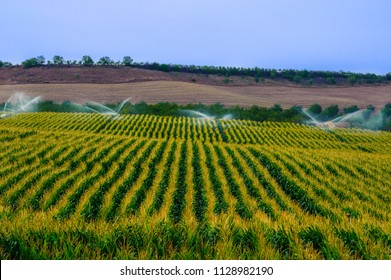 Green field with growing crop of corn sprinckled by water using feld irrigation system.