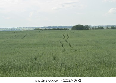 Green field of oats in the steppe Altai