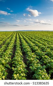 Green field of potato crops in a row