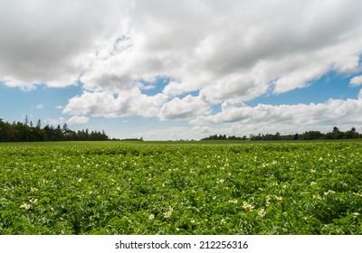 Green field of potatoes (Green Gables Shore, Prince Edward Island , Canada)
