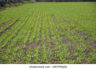 Green field with rows with growing corn plants