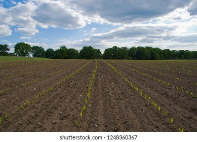 Green field rows of jung sprouting plants