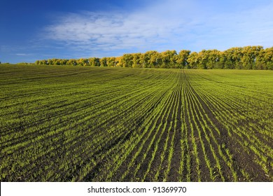 Green field with sprouted wheat