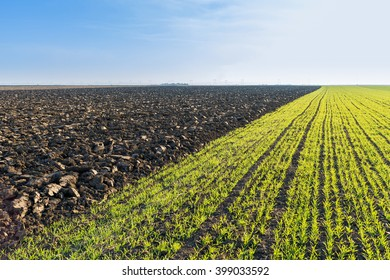 Green field of sprouting wheat