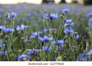 Green field of unripe wheat with many buds of beautiful blue cornflowers. Summer nature theme