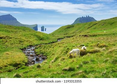 Green field with white sheeps grazing, Faroe islands, Denmark