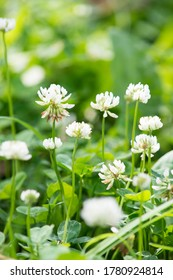 Green field wiith clover flowers/nature background