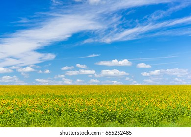 Green field with yellow sunflowers under a blue sky with clouds