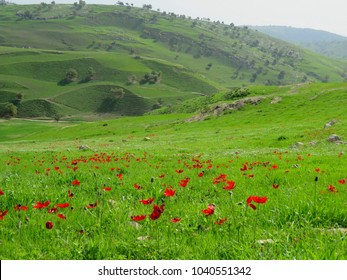 The green fields between Kufr Rakeb and Pella in north of Jordan, west of Irbid during march look so green and lush