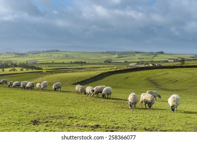Green fields in the English countryside with grazing sheep and blue sky.