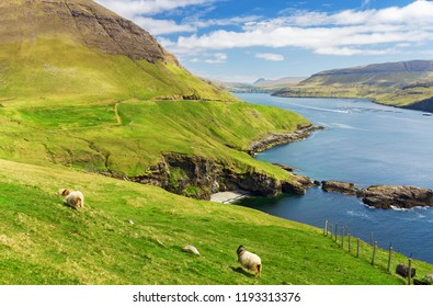 Green fields with grazing sheeps on the background of the Faroe islands