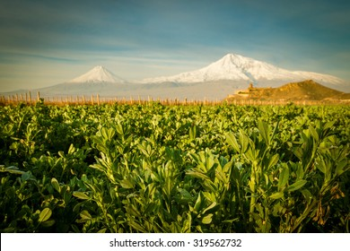 Green fields and Khor virap monastery in front of Ararat mountain at sunrise, Autumn, Armenia