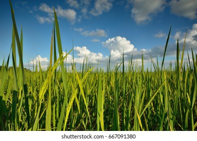 Green fields, refreshing with the blue sky, Chiang rai, Thailand