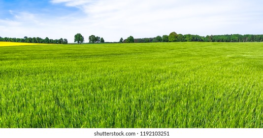 Green fields and sky. Grass field, landscape, farmland of wheat growing in spring.