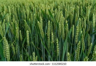 Green fields of green wheat