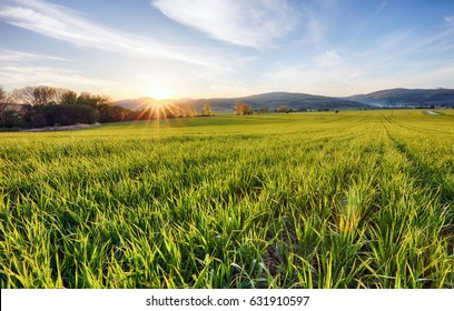 Green fields of young wheat on a spring