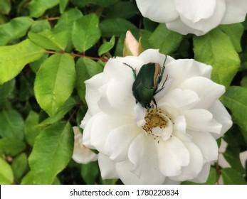 Green Fig Beetle feasting on white shrub rose
