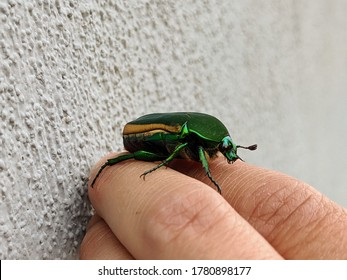 Green Fig Beetle on human hand