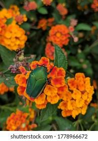 Green Fig Beetle on orange flowers
