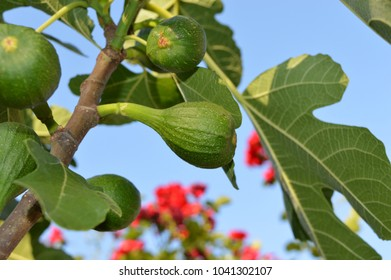 Green fig fruits on a tree