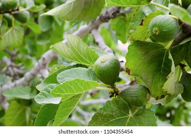 Green figs growing on the tree