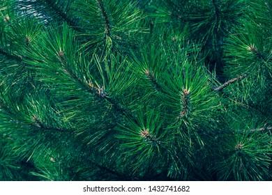 Green fir branch of a christmas tree. Coniferous needles close-up. Pine-tree background. Scotch fir.