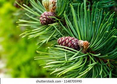 Green fir branch with cone. Forest background.