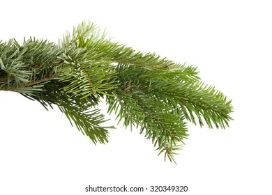 Green fir branch in front of a white background