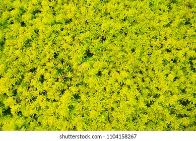 green fir branches as a background
