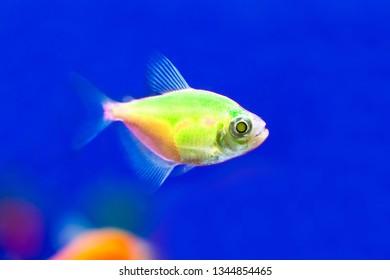 Green fish Ternezia. Gymnocorymbus ternetzi
